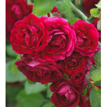 Vrtnica Flammentanz