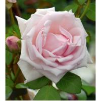 Vrtnica New Dawn