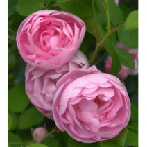 Vrtnica Raubritter