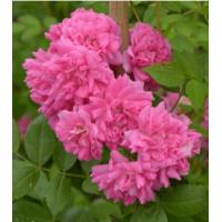Vrtnica Super Dorothy 'Heldoro'