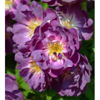 Vrtnica Veilchenblau